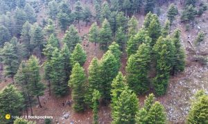 Aerial view of conifers on Dumail trek trail