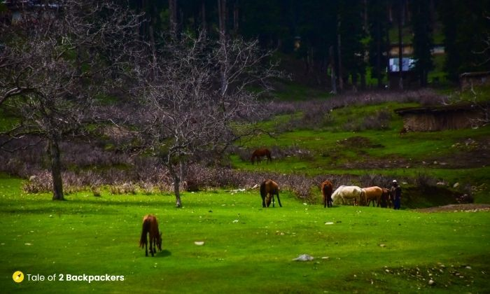 Horses and ponies at Yusmarg