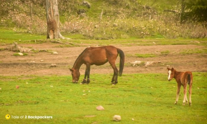 Horses grazing at Doodhpathri