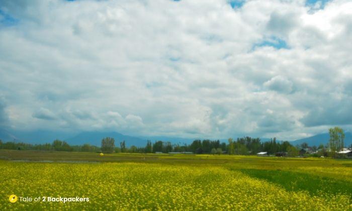 Mustard fields in Kashmir