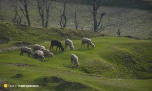 Sheep grazing on fields