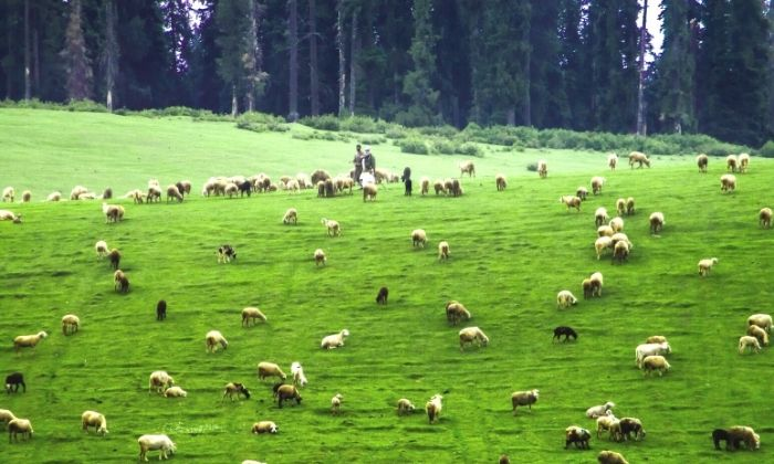 Sheeps grazing at Doodhpathri meadows