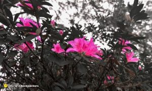 Rhododendrons in Sikkim