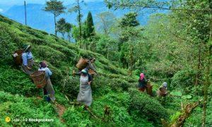 Women woking at tea gardens